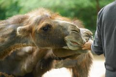 Camel 3 Royalty Free Stock Photo