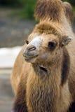 Camel. Portrait royalty free stock photos
