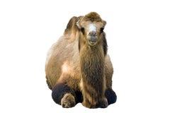 Camel. Portrait stock photos