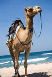 Camel. Close-up at the beach stock images