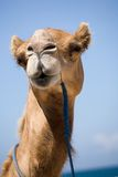 Camel. Close-up at the beach stock image