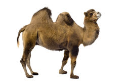 Free Camel Stock Photo - 3343720