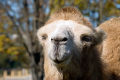 Camel. The head of a camel is photographed close up Royalty Free Stock Photography