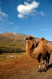 Camel. A camel under the blue sky Royalty Free Stock Photography