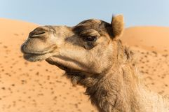 Camel. A portrait of camel with dunes in the back Stock Photo