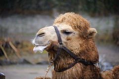 Camel. 's head in Zurich zoo Royalty Free Stock Photography