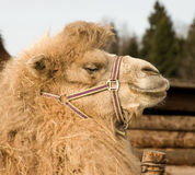 Camel. Stock Photos