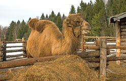 Camel. Royalty Free Stock Photos