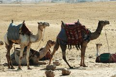 Camel. Group in Giza, Egypt Royalty Free Stock Images