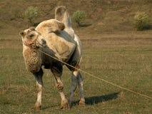 Camel. Desert-ship in the prairie Stock Image