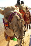 Camel. In desert standing at water's edge, with bridle and saddle Stock Image