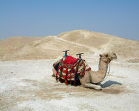 Camel. Photo of camel in desert Royalty Free Stock Image