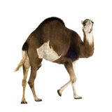 Camel. In front of a white background Stock Photo