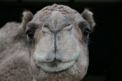 Camel. Photo with black background Stock Photos