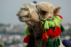 Camel. A camel looks at the viewer with a silly expression on his face stock photo