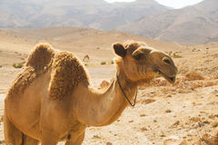 Camel. Arabian camel in hot desert Stock Photos