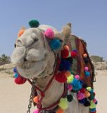 Camel. IM000114.JPG a colored camel in the desert Royalty Free Stock Photo
