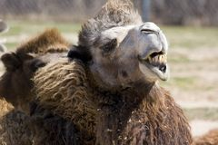 Camel. A camel making a funny face Stock Photo