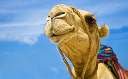 Camel. Detail of the camel head on blue sky background Stock Photography