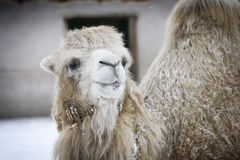 Camel. And adult male camel in moscow zoo Royalty Free Stock Image