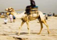 Camel. Police Ridding Camel in Egypt Royalty Free Stock Photo