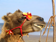 Camel. At the beach royalty free stock photos