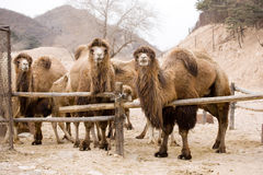 Camel. Several camels in the fence of a farm waiting for food Royalty Free Stock Photos