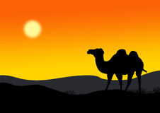 Camel. On the background of the setting sun of desert Stock Image