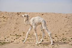 Camel. A baby Camel in the desert Royalty Free Stock Photography