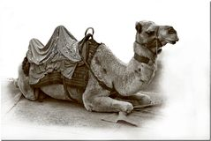 Camel. Waiting for its next assignment Stock Images