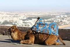 Camel. Siting on panorama of Agadir city in Marocco Stock Image