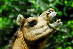 Camel. Close up of a camel sniffing the air Royalty Free Stock Images