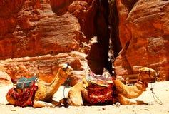 Camel. Two camels near Treasury temple at Petra (Al Khazneh), Jordan Royalty Free Stock Photo
