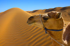 Camel. Africa desert with camel face Royalty Free Stock Image