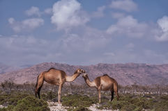 A camel against the backdrop of mountains in a viper. Sultry sunny day. Yemen. Two camels in the wild on the background of mountains and dry meager plants Royalty Free Stock Images