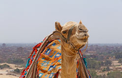 Camel against cityscape of Cairo. Close up of camel against cityscape of Cairo Stock Photography