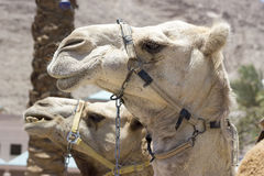 Camel against the old city of Jerusalem Stock Photos