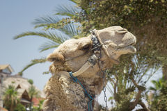 Camel against the old city of Jerusalem Stock Photography