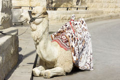 Camel against the old city of Jerusalem Stock Image