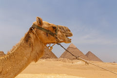 Camel against pyramids of Giza. Head of camel against pyramids of Giza Stock Photos