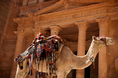 Camel against treasury Stock Photo