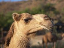 Camel in Ain Garziz, Oman. Morning encounter with camels in Ain Garziz, Salalah, Oman Royalty Free Stock Photo
