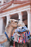 Camel in Al Khazneh - Treasury, Petra Stock Photography