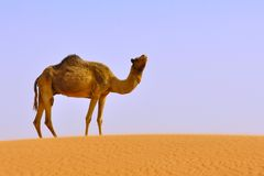 Camel alone in desert Royalty Free Stock Image