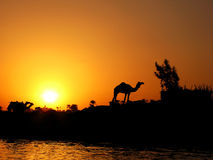 Camel And Sunset Royalty Free Stock Photos