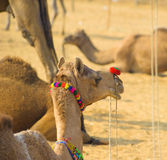 Camel animal adventure background Royalty Free Stock Image