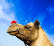 Camel a Royalty Free Stock Images