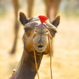 Camel animal adventure background Royalty Free Stock Images