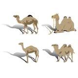 Camel. Animal arabian illustration vector Stock Photos