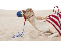 Camel animal laying down in the desert. Safari stock photo